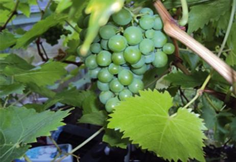 Grapes_01.jpg