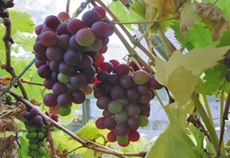 Grapes_02