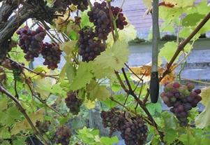 Grapes_03