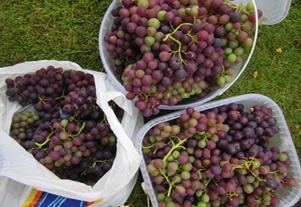 Grapes_04